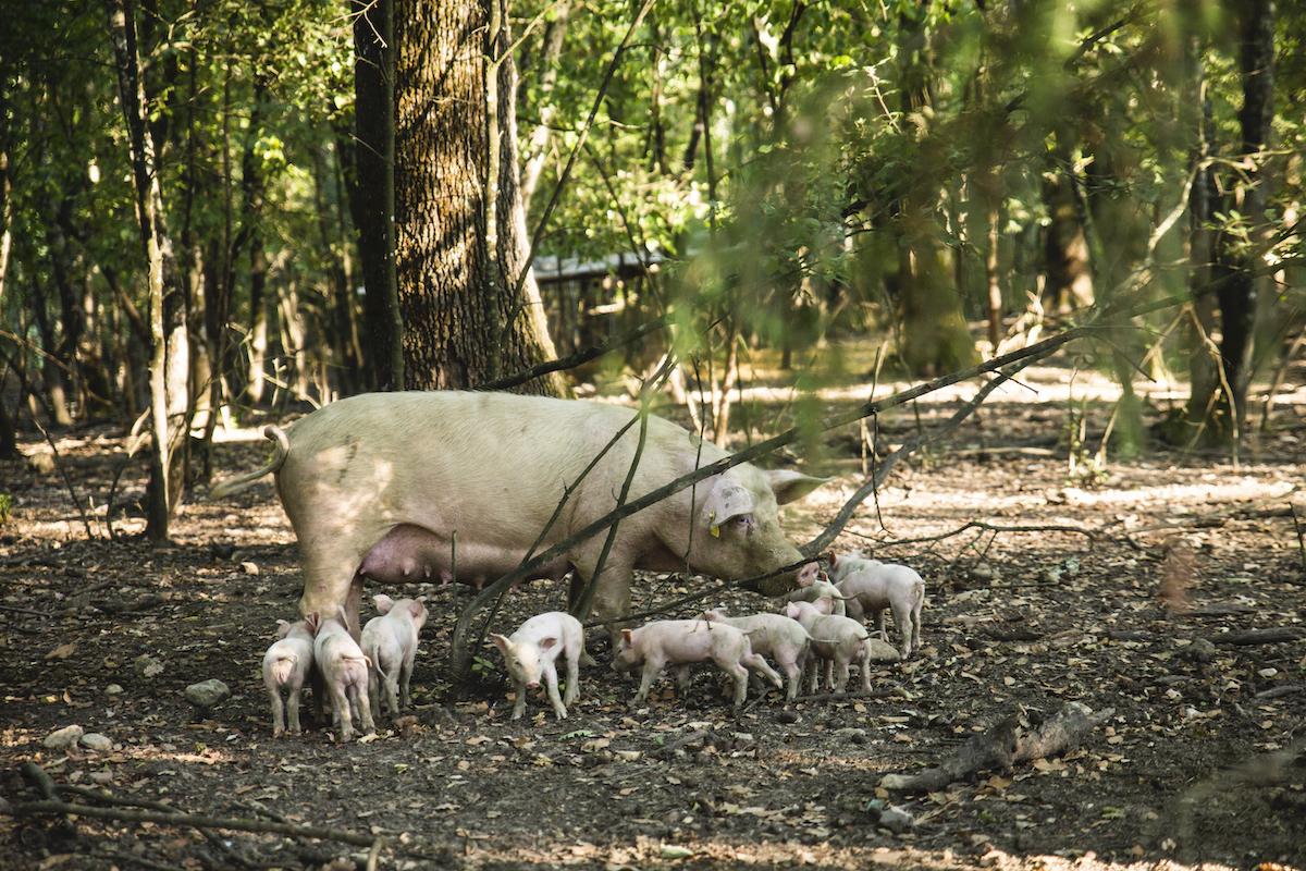 PigsLife2019-16