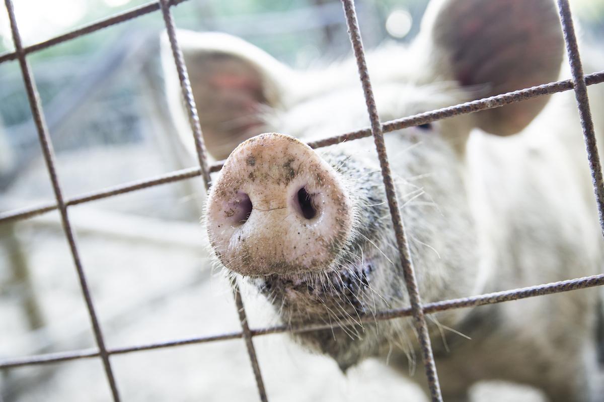 PigsLife2019-49