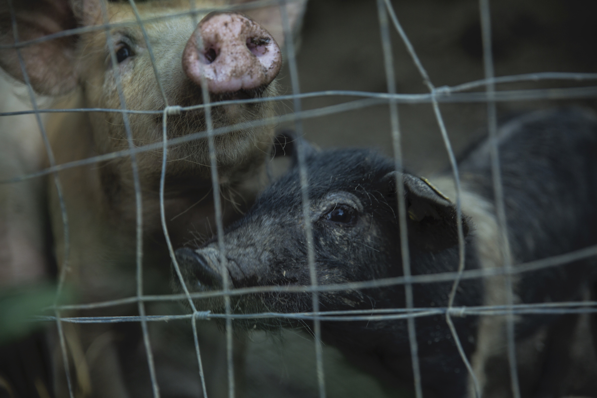 PigsLife2019-78